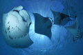   Manta Madness lots Rays around Hanifaru Bay seems. seems  